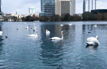 Swans swimming in Eola Lake, Orlando FL
